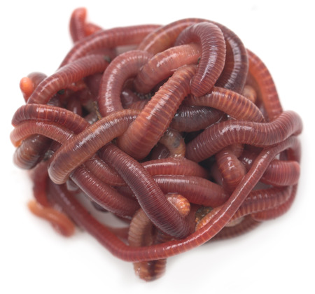 anguine: red worm on a white background Stock Photo