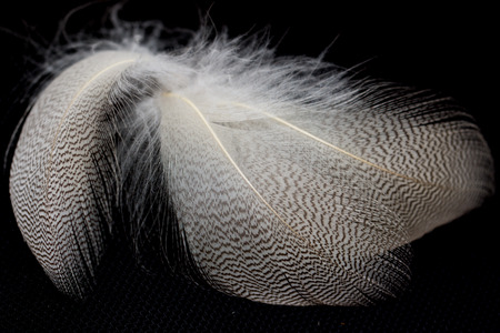 dead duck: feathers on a black background Stock Photo