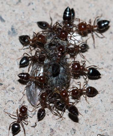 harmonize: ants eating a fly Stock Photo