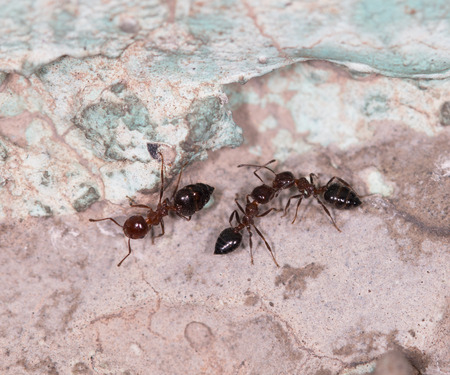 pismire: ants on a brown wall Stock Photo