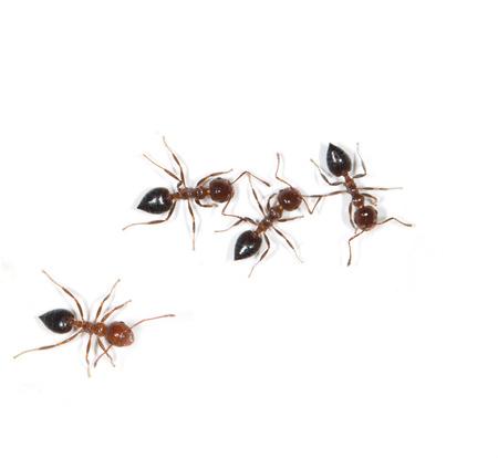 ants on a white background Фото со стока - 40105227