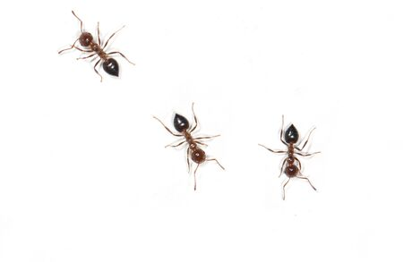 feelers: ants on a white background Stock Photo