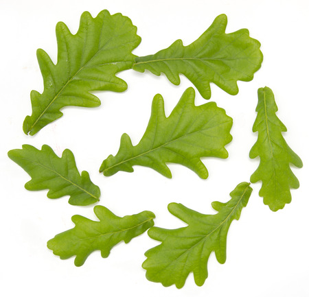 Young oak leaves on a white background