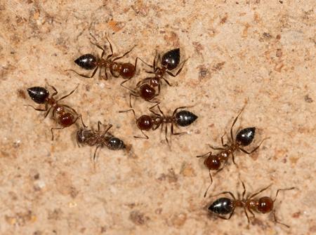 hormiga: hormigas en una pared marr�n Foto de archivo