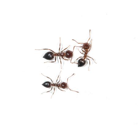 pismire: ants on a white background Stock Photo