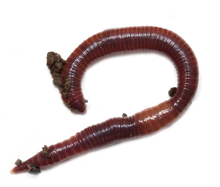 vermiculture: red earthworm to the ground on a white background Stock Photo