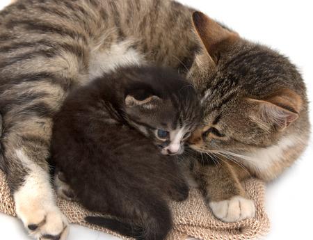 scottish female: little kitten with a cat