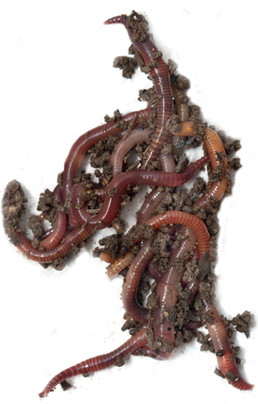 vermiculture: red worms from the ground on a white background