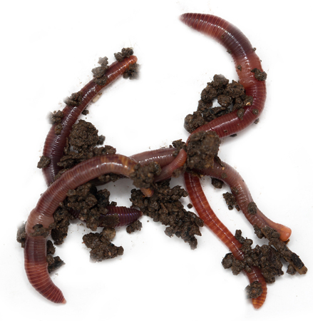 wigglers: Worms on a white background