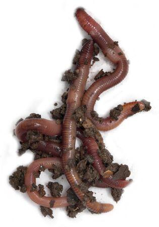 lombriz de tierra: lombriz de tierra roja en el suelo sobre un fondo blanco