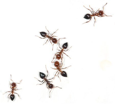 ant: ants on a white background Stock Photo