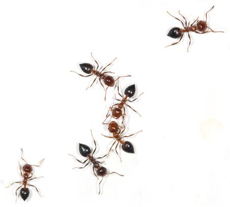 hormiga: hormigas en un fondo blanco Foto de archivo