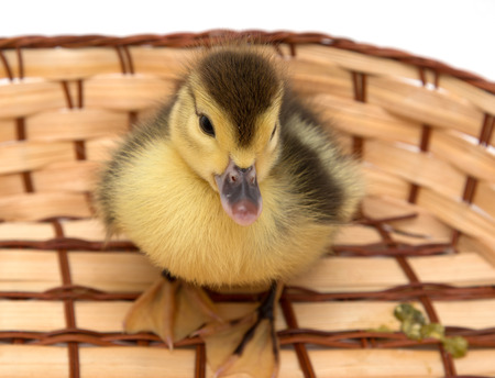 duckling: Duckling on a wooden background