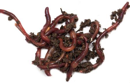 gusanos: Gusanos en un fondo blanco Foto de archivo