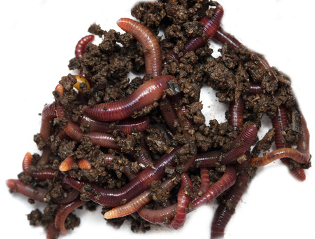 anguine: Worms on a white background