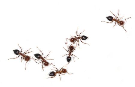 ants on a white background Фото со стока - 43468831