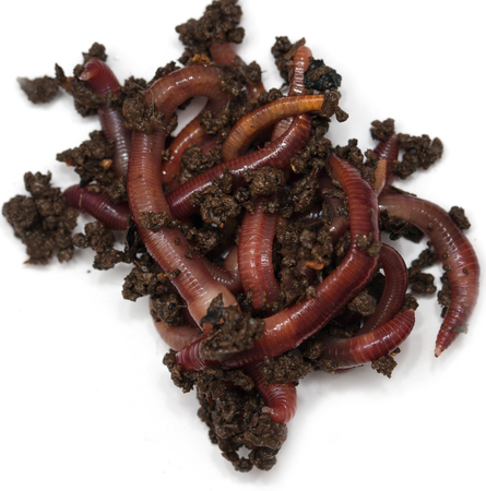 vermiculture: Worms on a white background