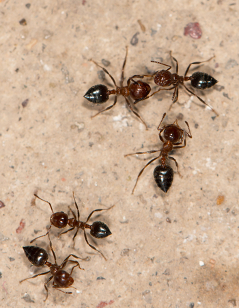 pismire: ants on a brown background