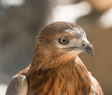 redtail: the head of a bird of prey