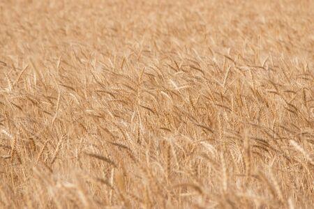 par�?s: field of wheat as a background Foto de archivo