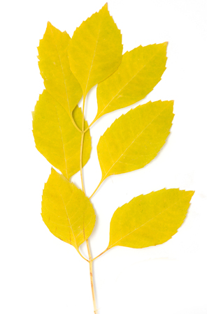 serrate: yellow autumn leaves on a white background Stock Photo