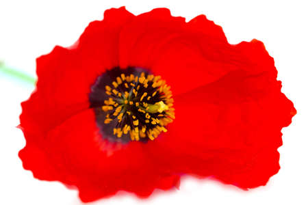 dubium: red poppy on a white background