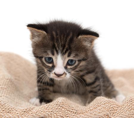 kitten small white: little kitten on a white background