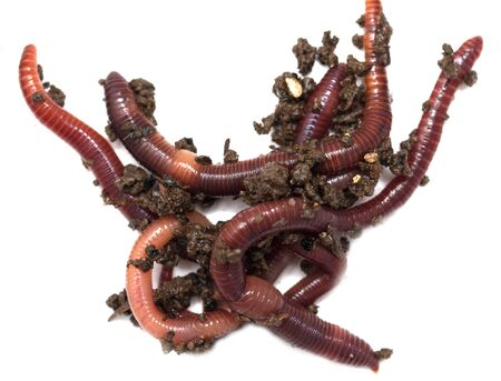 annelida: Worms on a white background
