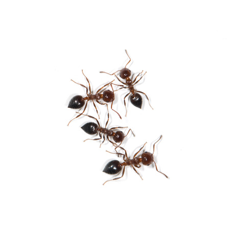 salticidae: ants on a white background Stock Photo