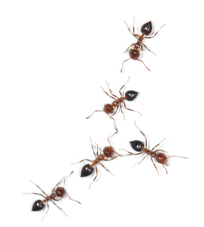 similitude: ants on a white background Stock Photo