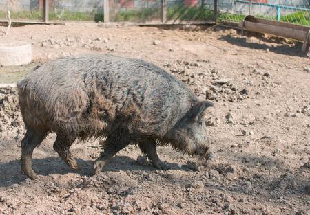jabali: cerdo salvaje en el fango