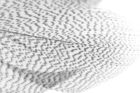 guinea fowl: guinea fowl feather white background Stock Photo