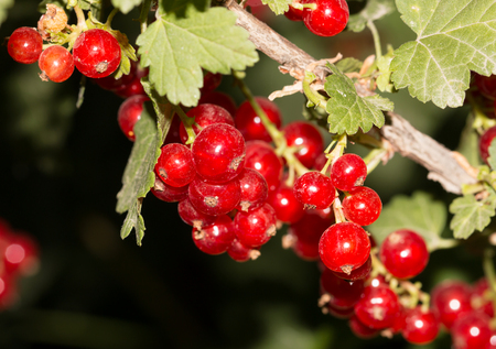 currants: red currants on branch