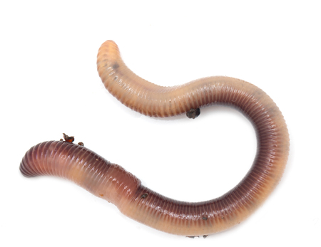wigglers: earthworm on a white background Stock Photo