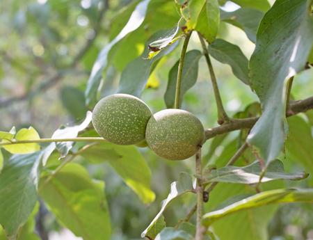 circassian: Green walnuts on branch