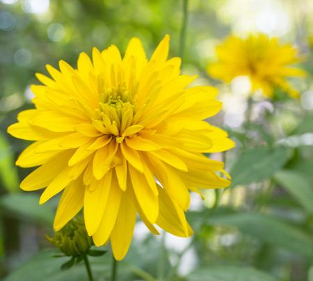 yellow aster stock photos images. royalty free yellow aster images, Beautiful flower