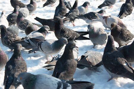 beak doves: dove in the snow Stock Photo