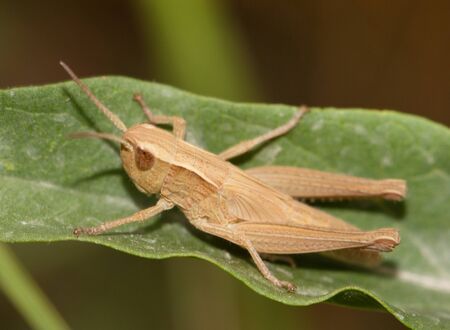 cilp: Grasshopper on a leaf Stock Photo