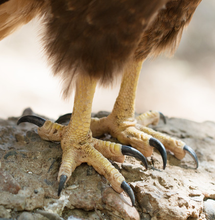 paws with claws bird hawk