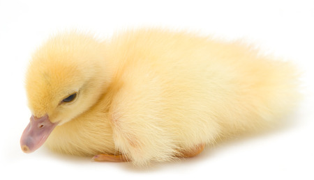 yellow duckling on a white background Stock Photo