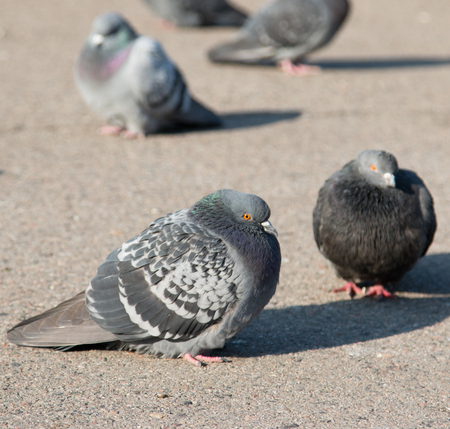 Pigeons on the pavement