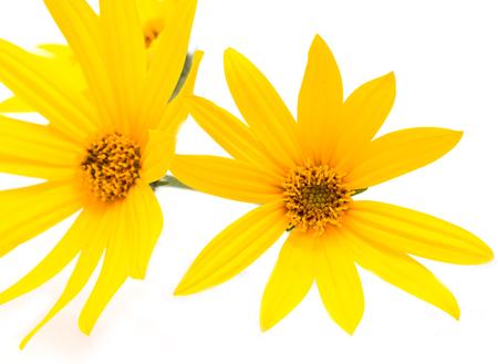 scent: Jerusalem artichoke flower