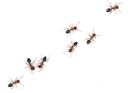 eight legs: ants on a white background Stock Photo