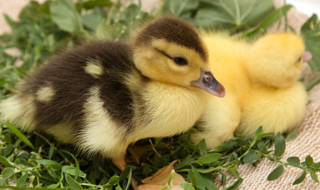 little duckling in the grass Stock Photo