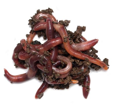 Worms sur un fond blanc Banque d'images - 73764571
