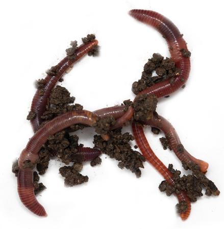 Worms sur un fond blanc Banque d'images - 73853826