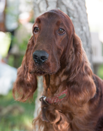 Long-haired brown dog with long hair