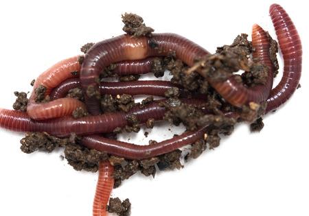 regenwormen op een witte achtergrond