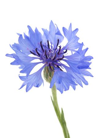 Blue flowers cornflower Banque d'images