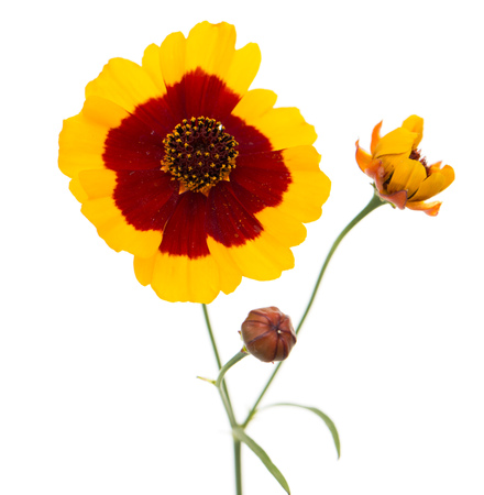Yellow flower with red center on a white background stock photo stock photo yellow flower with red center on a white background mightylinksfo